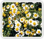La manzanilla, un tranquilizante natural