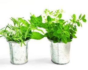 Plantas Culinarias