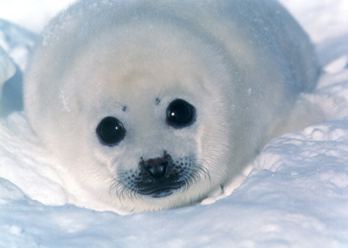 cria-de-foca.jpg
