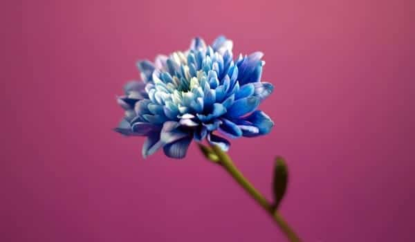 Colección Blue Dahlia de Estée Lauder