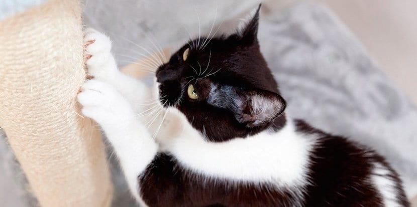 Gato arañando