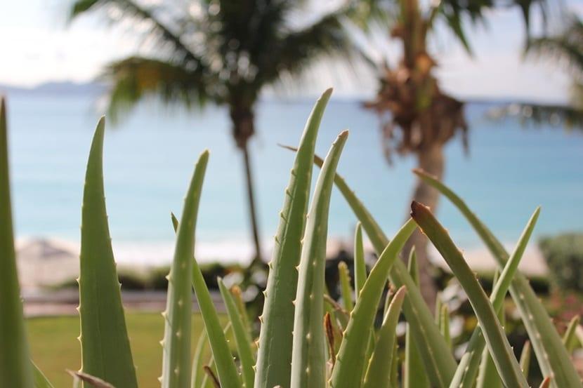 Aloe Vera para combatir la alergia al sol