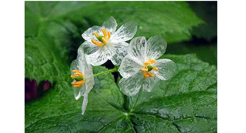 flor-transparente-01