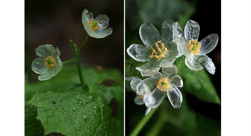 flor-transparente-03