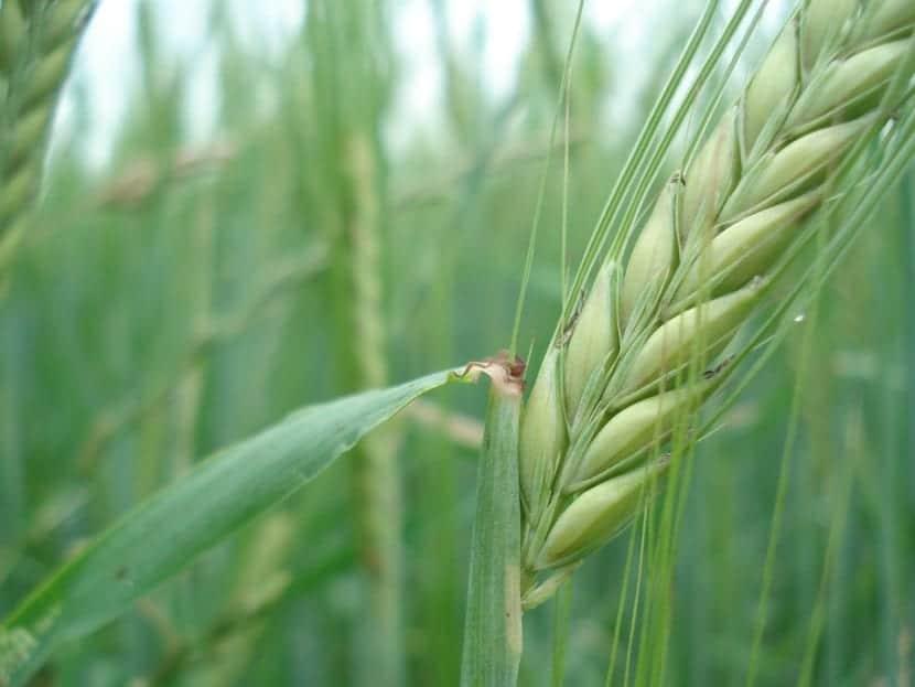 cereal-trigo