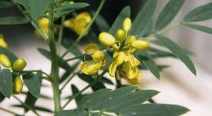 Cassia obovata planta
