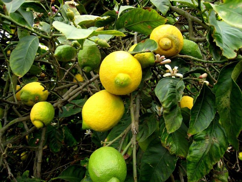 limon-ecologico