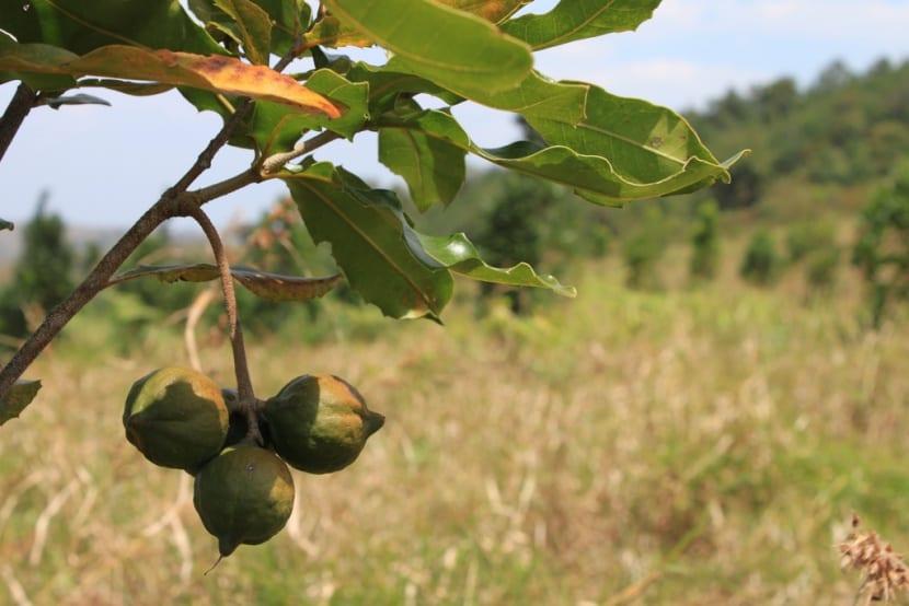 nueces-macadamia-arbol