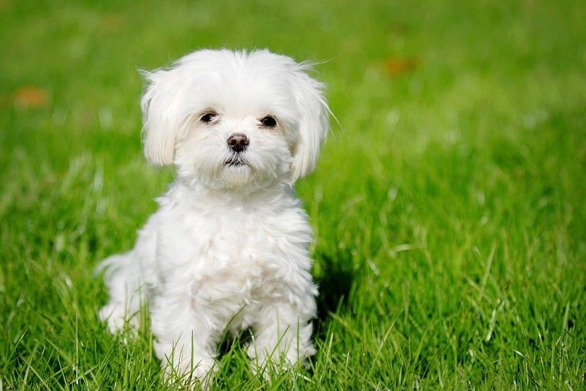 Las 5 razas de perros m s cari osos que podemos tener al lado - Agencias para tener estudiantes en casa ...