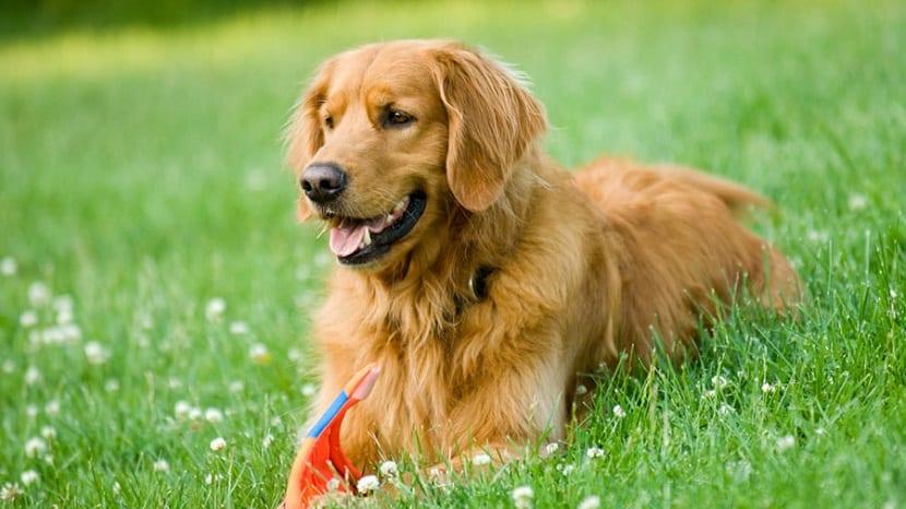 Las 5 razas de perros más cariñosos que podemos tener al lado