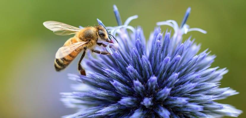 abeja con cardo mariano