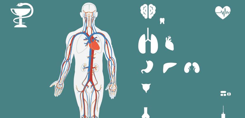 dibujo interno cuerpo humano