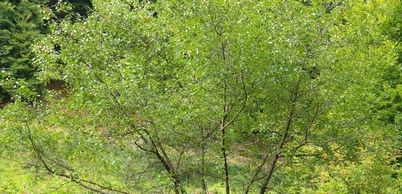 árbol de la frángula