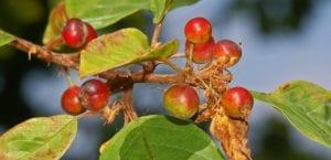 fruto de la frángula