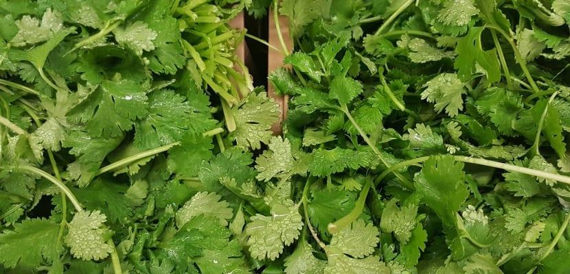 hierba fresca de cilantro