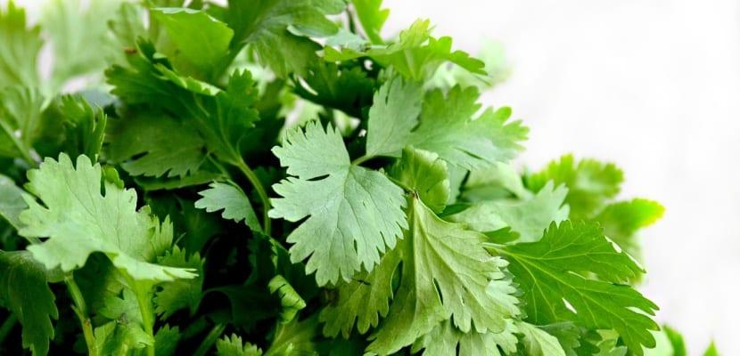hierba de cilantro