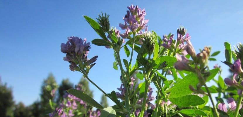 planta de alfalfa