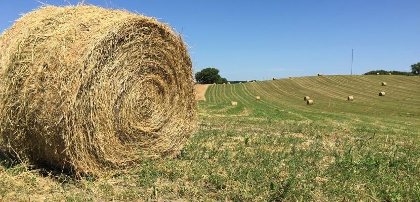 alfalfa ganado