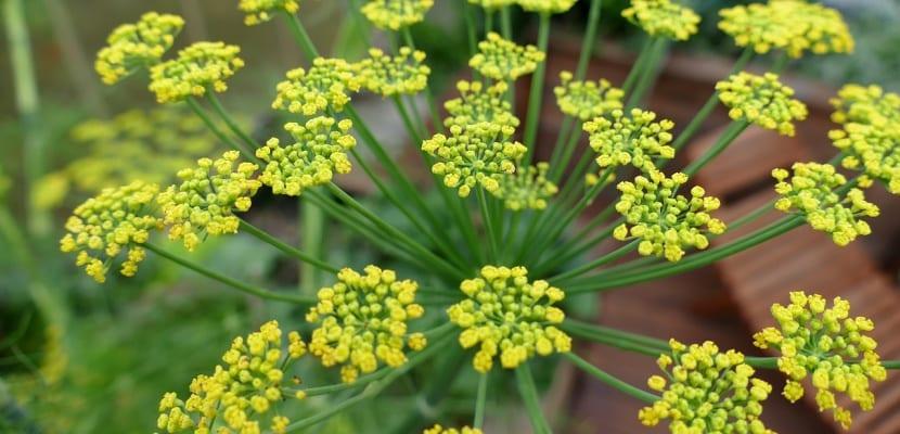 flor de hinojo