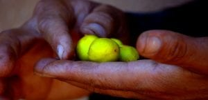 fruto de argán