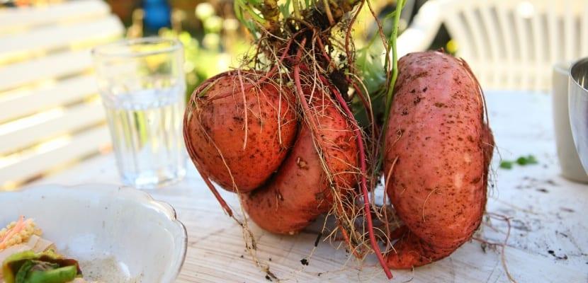 tubérculos con raíces