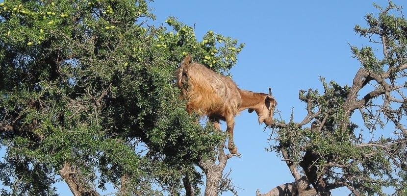 árbol de argán y cabra