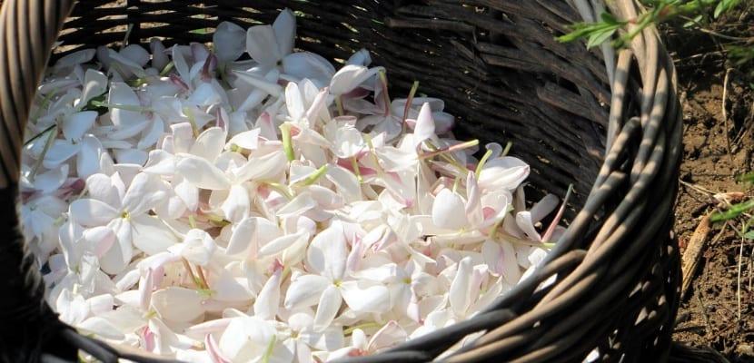 flores frescas de jazmín