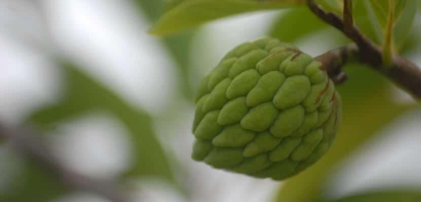 chirimoya en el árbol