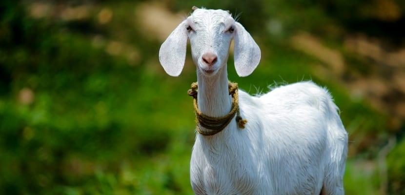 Leche de cabra descubre sus maravillosos beneficios y propiedades - Beneficios queso de cabra ...