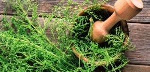 Planta de cola de caballo