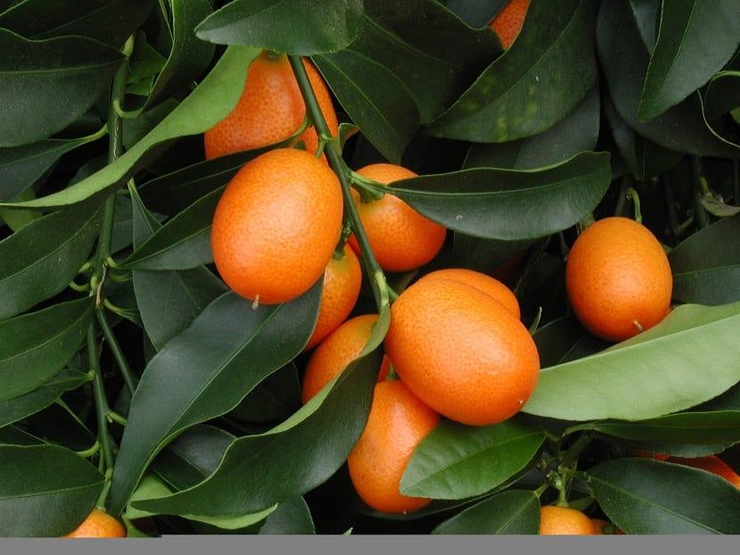 Siembra del kumquat