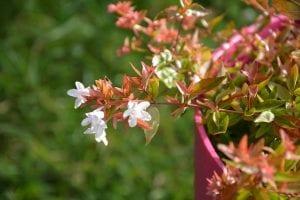 La Abelia floribunda es una planta que pertenece a la familia de las caprifoliaceas
