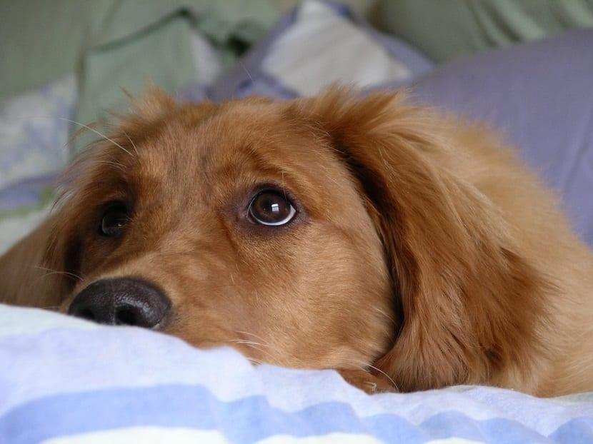 Esterilización de perras
