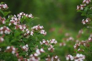 Cultivo de la Abelia floribunda