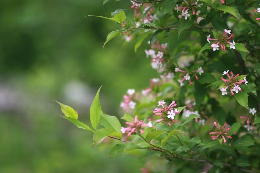 Cuidados de la Abelia floribunda