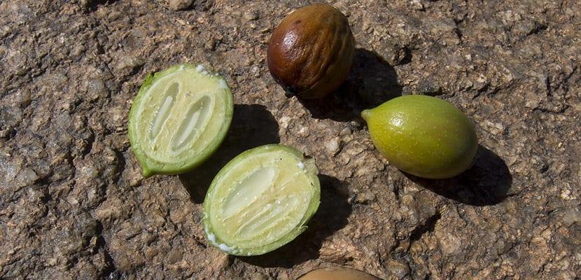 Fruto del aceite de argán