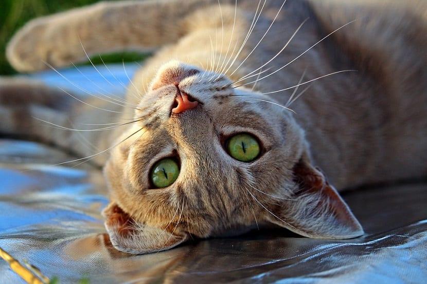 Gestos comunes en gatos