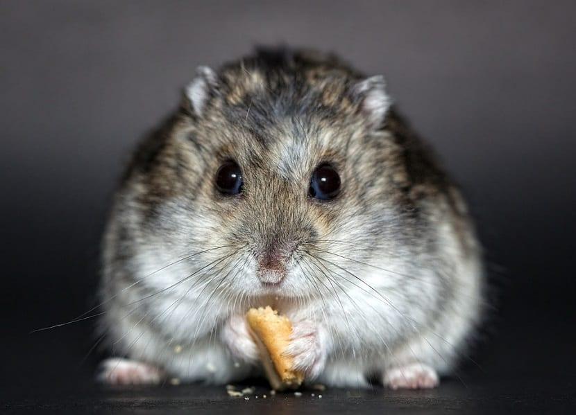 Qué no debe comer un hámster
