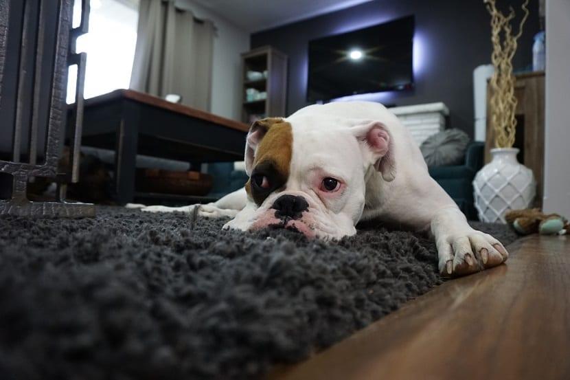 Eliminar los olores de las mascotas