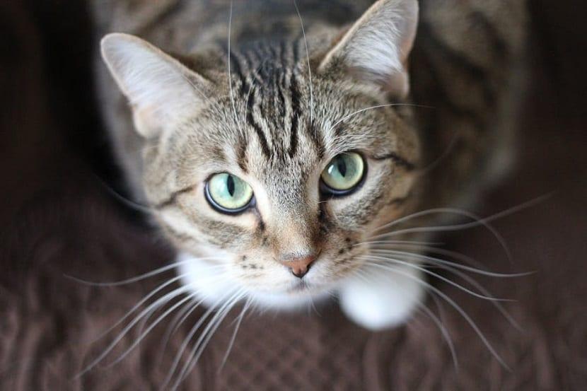 Estreñimiento en gatos