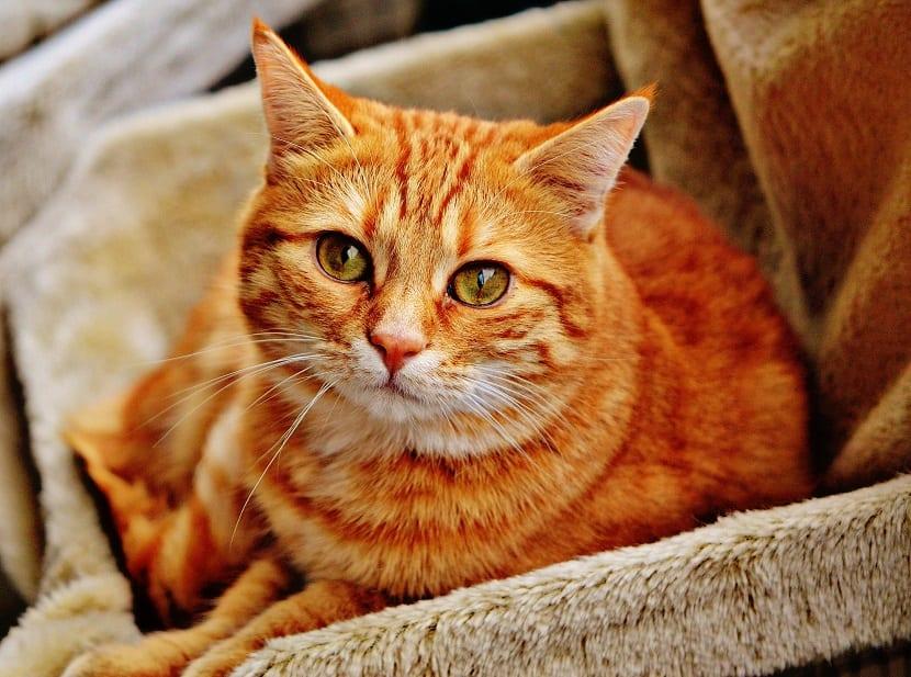 Remedios para gatos estreñidos