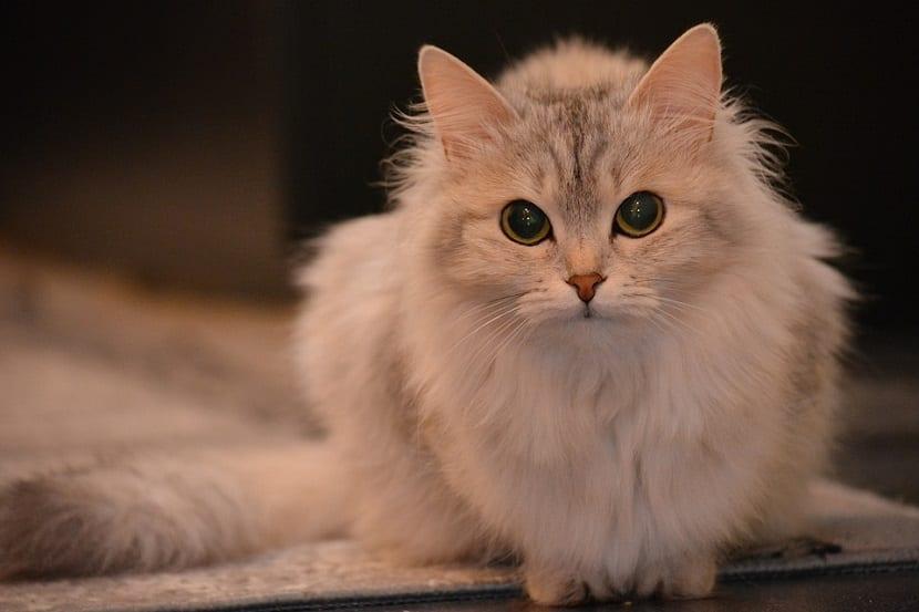Síntomas gatos estreñidos