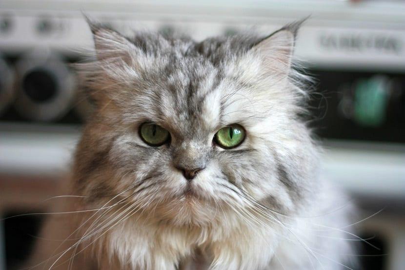 Gato persa cuidados