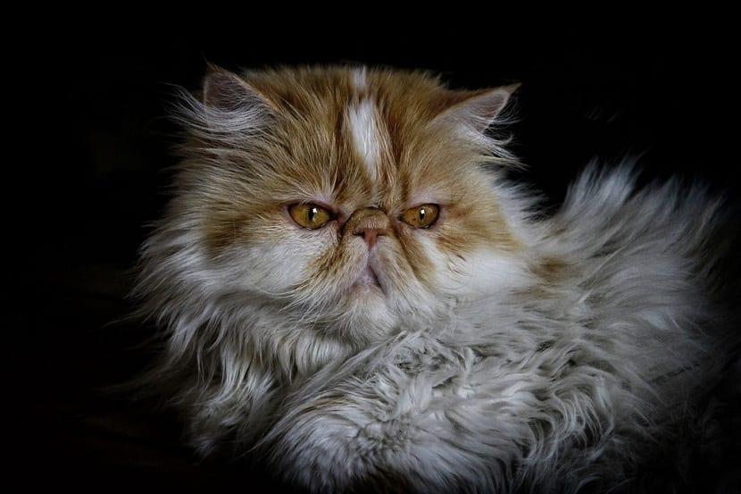 Gato persa curiosidades