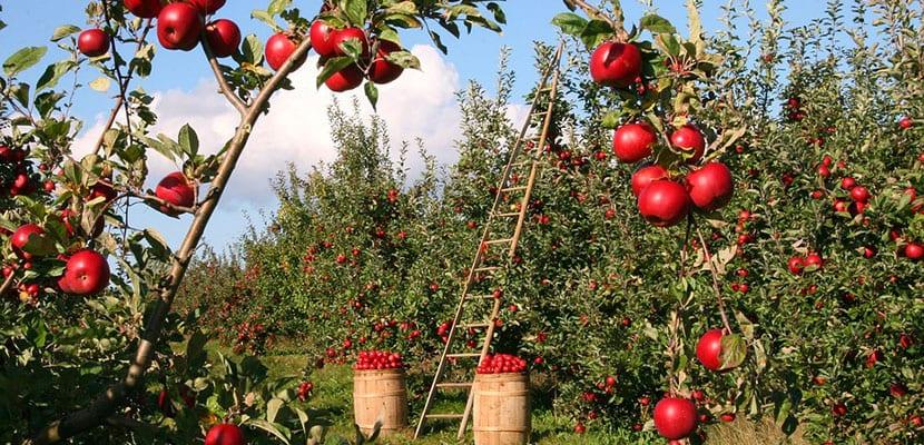 Calorías de la manzana
