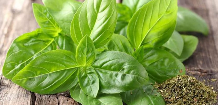 Hojas de té de albahaca