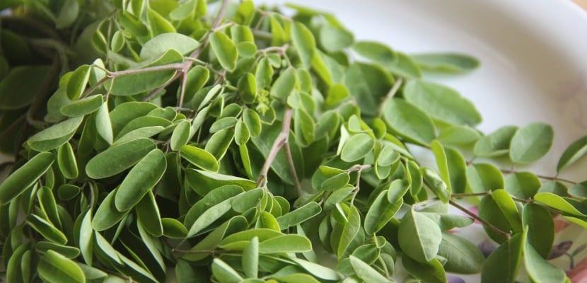 hojas de moringa