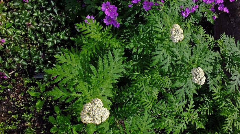 Color de las flores de aquilea