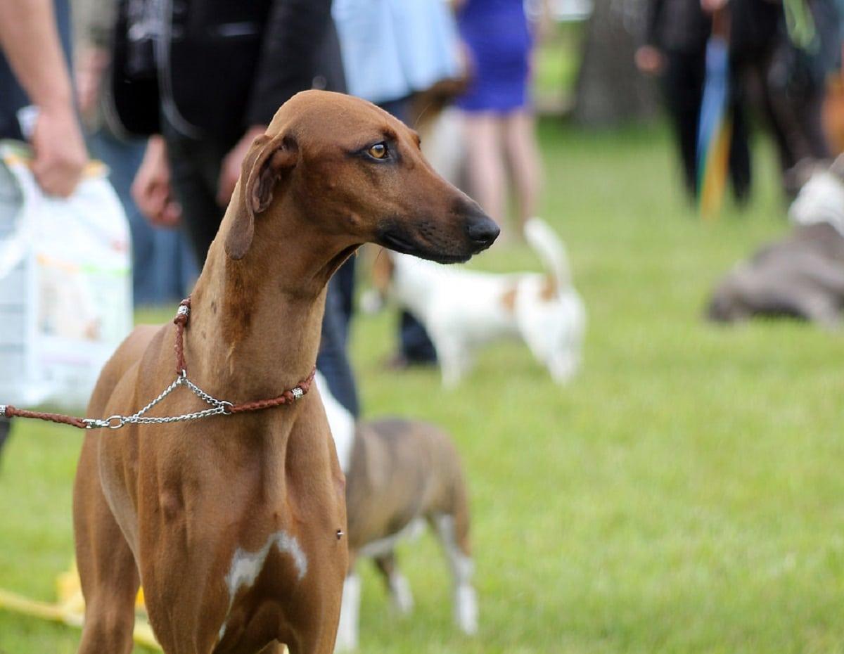 El azawach es un perro deportista