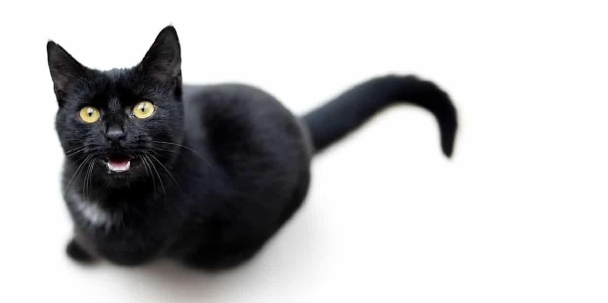 gato maulla